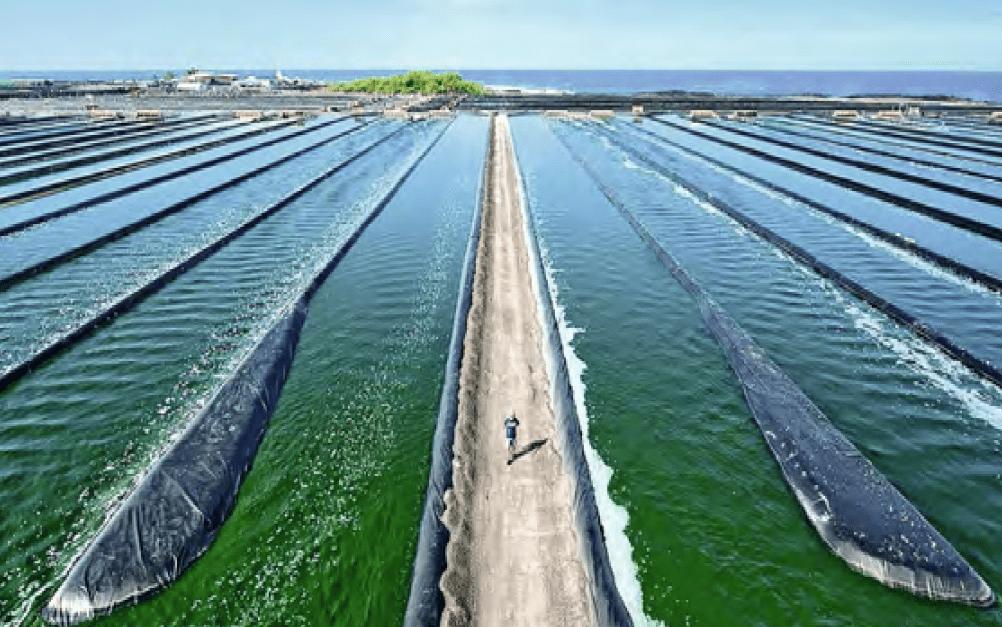 микроводоросли, промышленное выращивание спирулины
