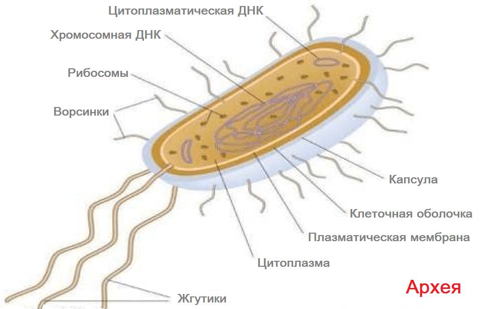 Какие простейшие являются самостоятельными одноклеточными организмами?