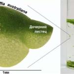 """Ценные генетические особенности Вольфии выявлены в ходе """"обуздания растениями"""""""