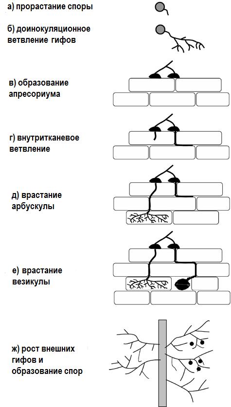 Арбускула (арбускулярные микоризные грибы, АМГ)