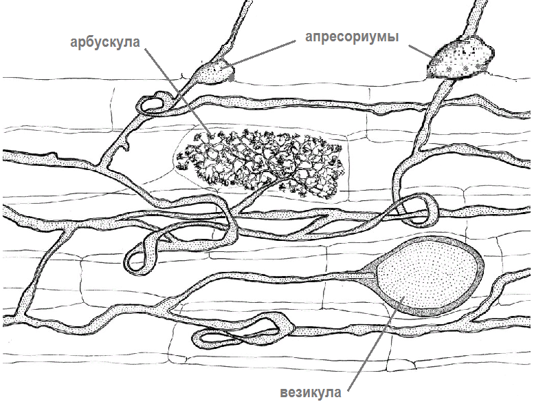 Существуют ли симбиотические органы и органоиды? Да, пример – микориза